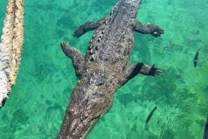OMG Fun Seekers Totally Shocked as Crocodile Bites Off the Leg of Foreign Tourist at the Beach (Photos)